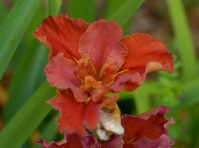 Louisiana Iris named 'Cajun Hot Sauce' by Vaughn in 2009
