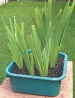 Picture of Louisiana Irises growing in a container