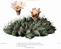 The Cactaceae Vol III, plate XVII by Mary Eaton