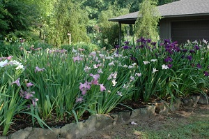 Louisiana irises growing in a plastic lined bed