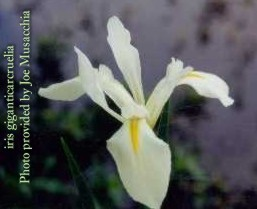 white form of Iris giganticaerulea